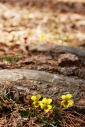 Yellow Violets_edited-1
